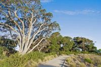 Ancient Moonah trees along pathway at Moonah Links, Fingal 3939